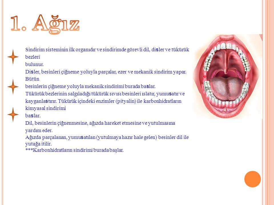 Sindirim sisteminin ilk organıdır ve sindirimde görevli dil, di s ler ve tükürük bezleri bulunur.