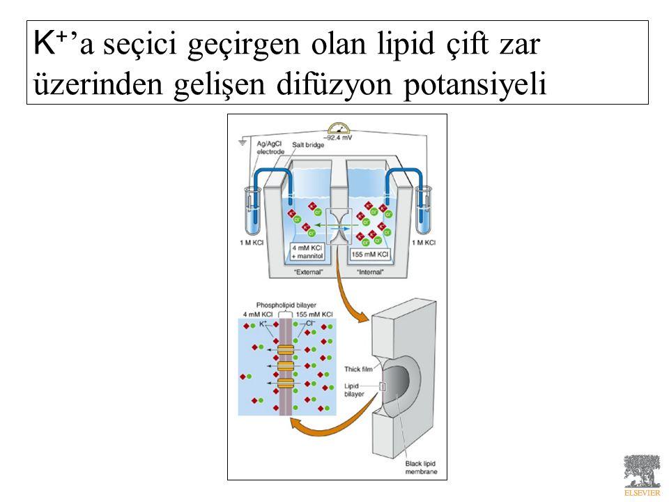 K + 'a seçici geçirgen olan lipid çift zar üzerinden gelişen difüzyon potansiyeli