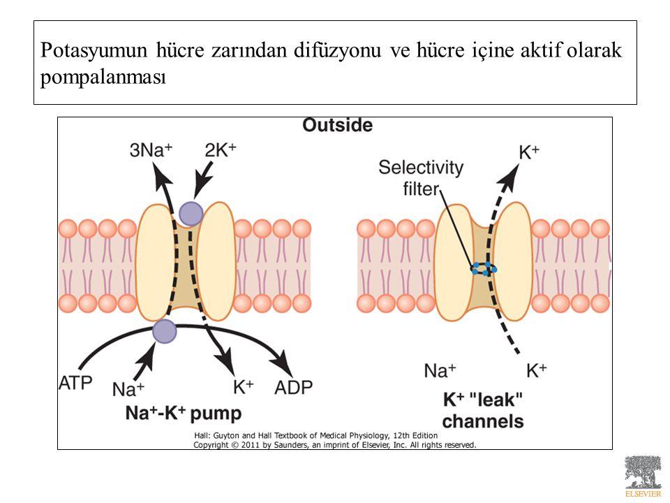 Potasyumun hücre zarından difüzyonu ve hücre içine aktif olarak pompalanması