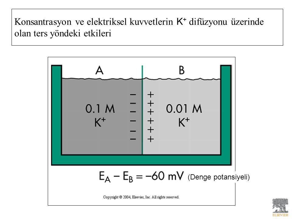 Konsantrasyon ve elektriksel kuvvetlerin K + difüzyonu üzerinde olan ters yöndeki etkileri (Denge potansiyeli)