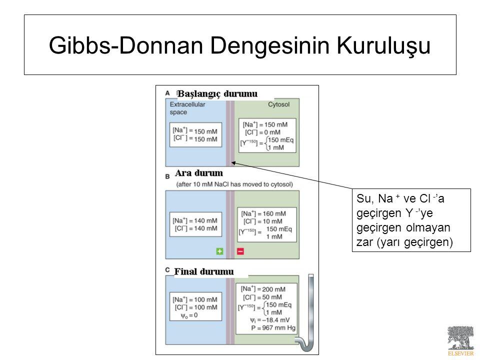 Gibbs-Donnan Dengesinin Kuruluşu Su, Na + ve Cl - 'a geçirgen Y - 'ye geçirgen olmayan zar (yarı geçirgen)