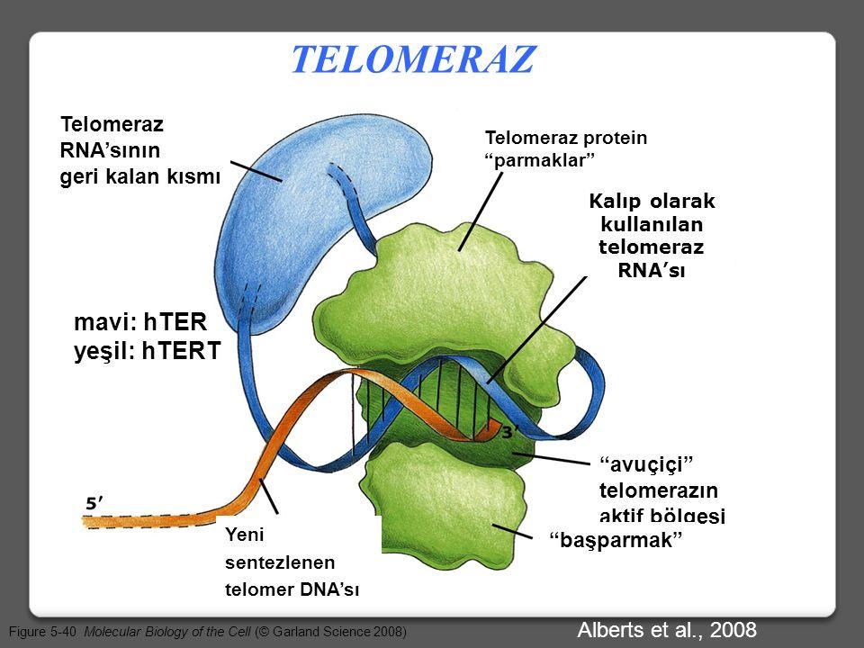 Telomerazın birinci bileşeni : ‡Telomerazın birinci bileşeni hTERT, telomerin sonunda bulunan tek iplikli bir çıkıntıdır. hTERT, ikinci telomeraz bile