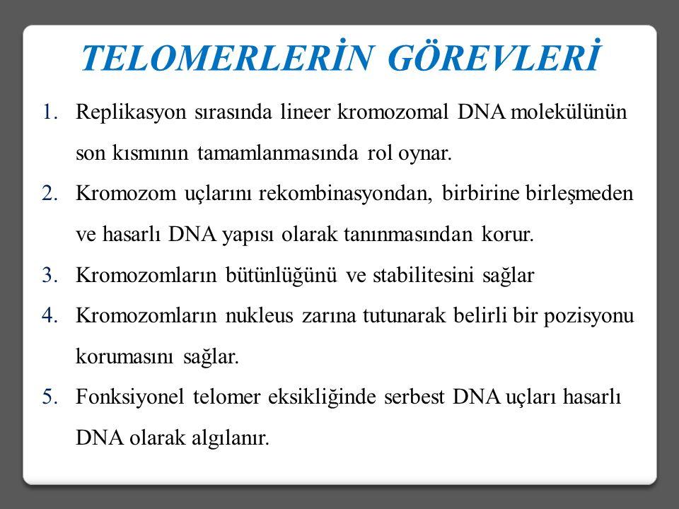 Telomerazın birinci bileşeni : ‡Telomerazın birinci bileşeni hTERT, telomerin sonunda bulunan tek iplikli bir çıkıntıdır.