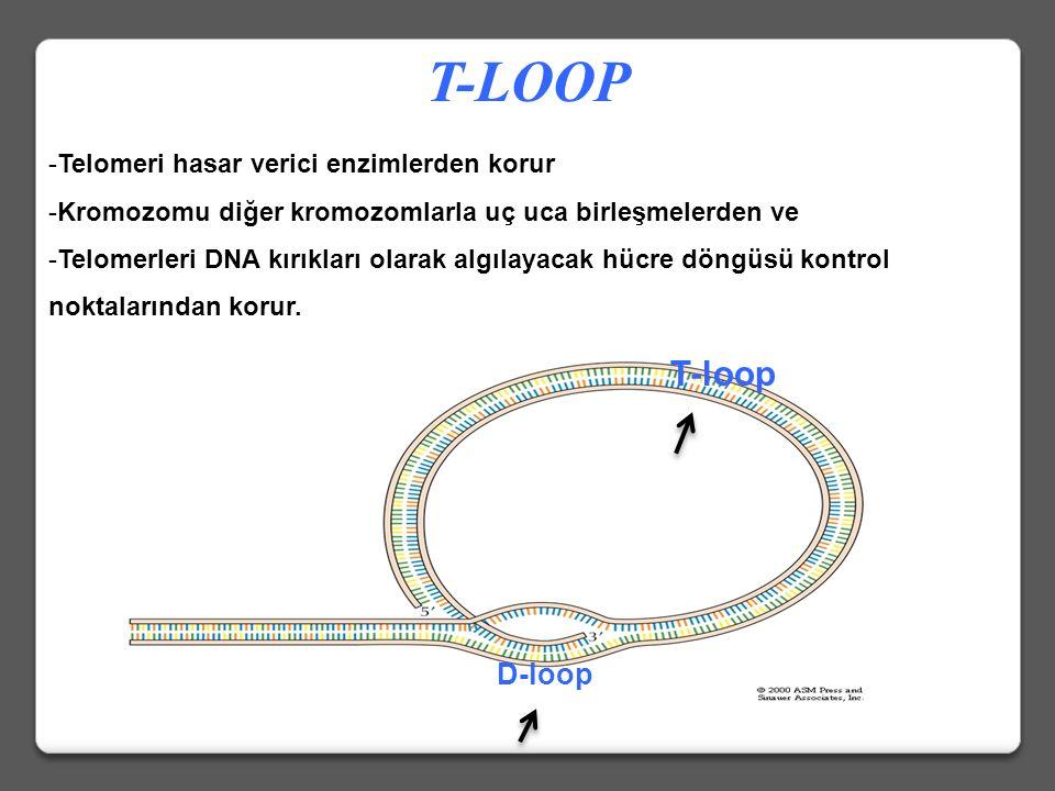 -Telomeri hasar verici enzimlerden korur -Kromozomu diğer kromozomlarla uç uca birleşmelerden ve -Telomerleri DNA kırıkları olarak algılayacak hücre döngüsü kontrol noktalarından korur.