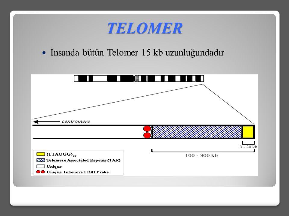 TELOMER İnsanda bütün Telomer 15 kb uzunluğundadır