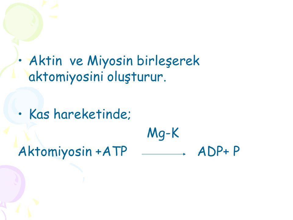 Aktin ve Miyosin birleşerek aktomiyosini oluşturur. Kas hareketinde; Mg-K Aktomiyosin +ATP ADP+ P