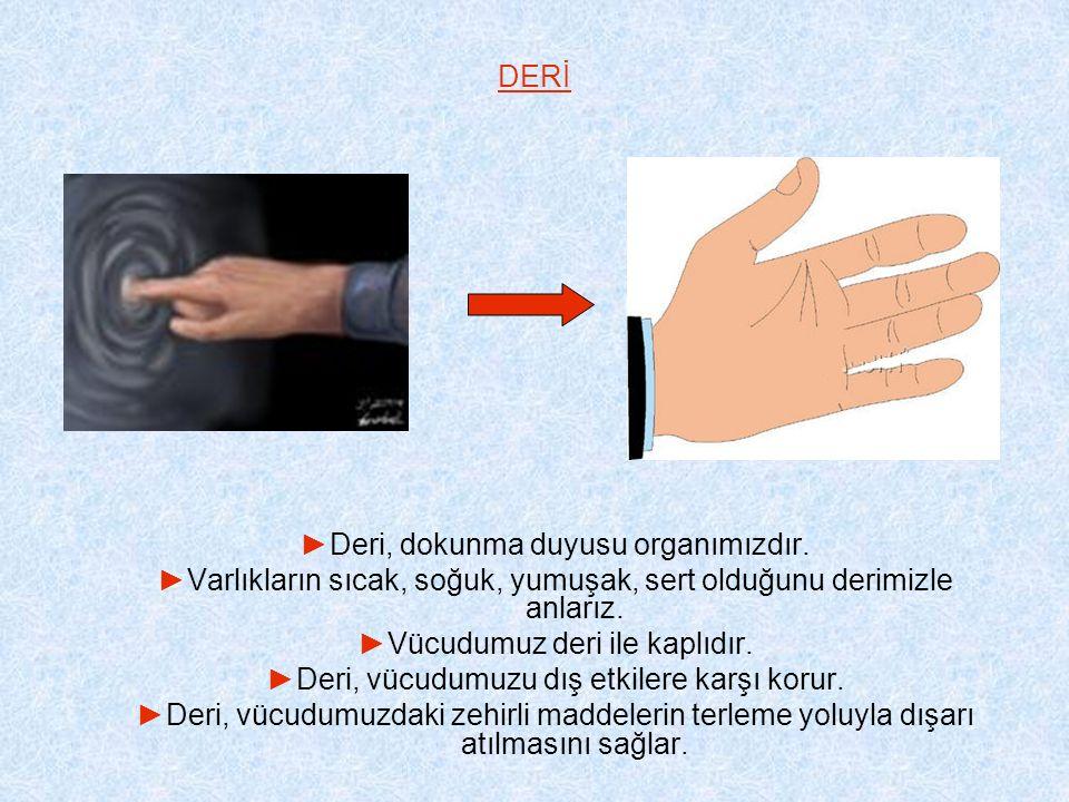 DERİ ►Deri, dokunma duyusu organımızdır.