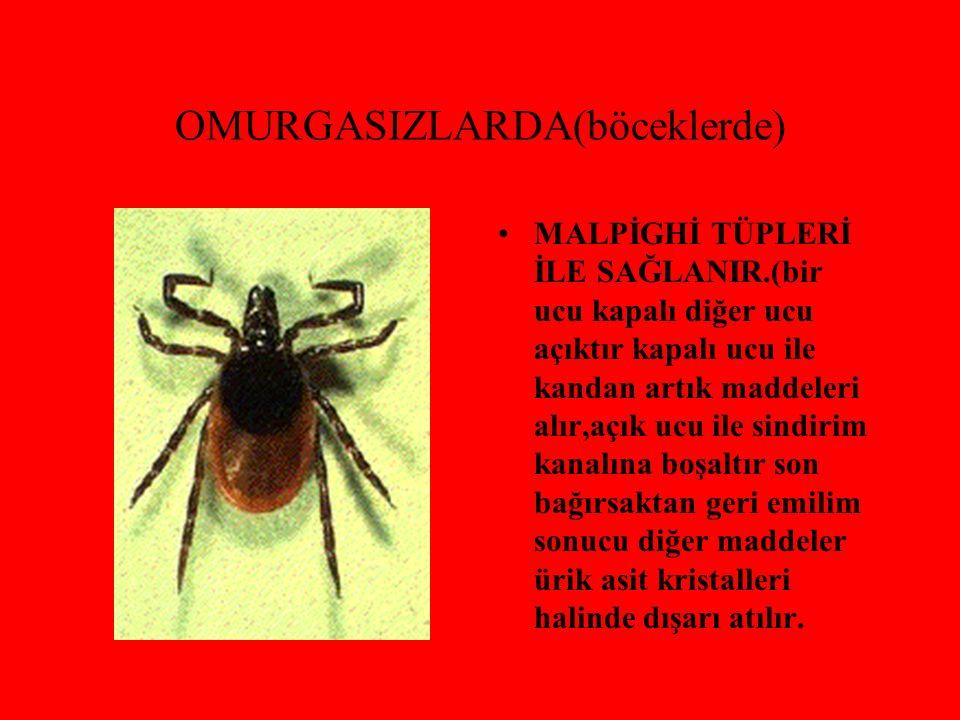 OMURGASIZLARDA(böceklerde) MALPİGHİ TÜPLERİ İLE SAĞLANIR.(bir ucu kapalı diğer ucu açıktır kapalı ucu ile kandan artık maddeleri alır,açık ucu ile sin