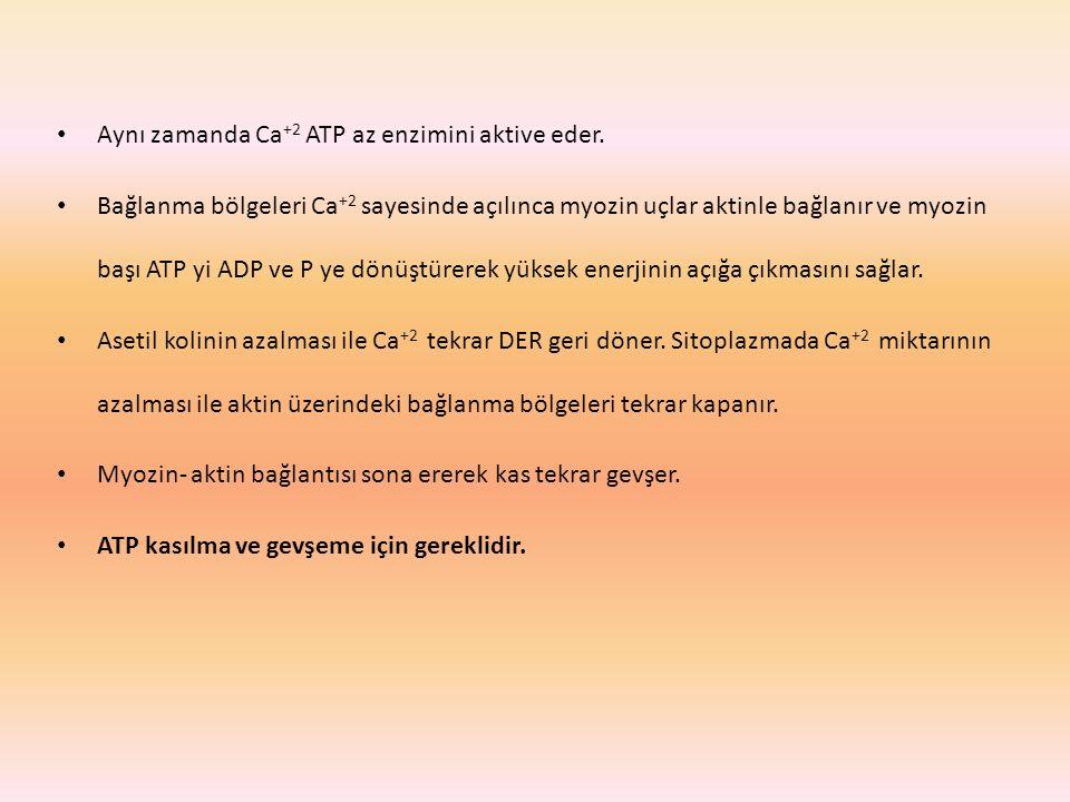 Aynı zamanda Ca +2 ATP az enzimini aktive eder. Bağlanma bölgeleri Ca +2 sayesinde açılınca myozin uçlar aktinle bağlanır ve myozin başı ATP yi ADP ve