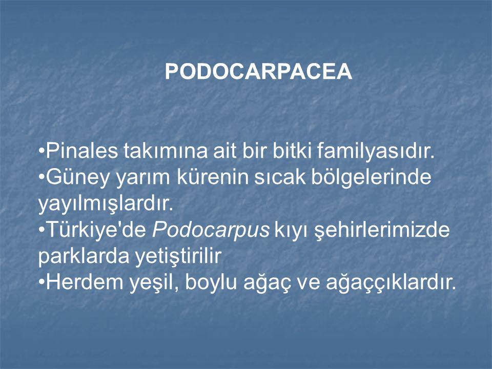 PODOCARPACEA Pinales takımına ait bir bitki familyasıdır.