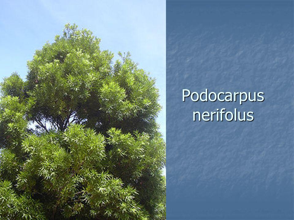 Podocarpus nerifolus