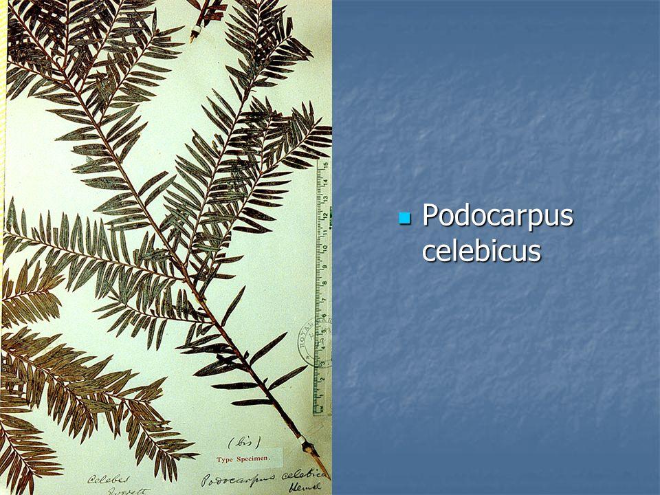 Podocarpus celebicus Podocarpus celebicus