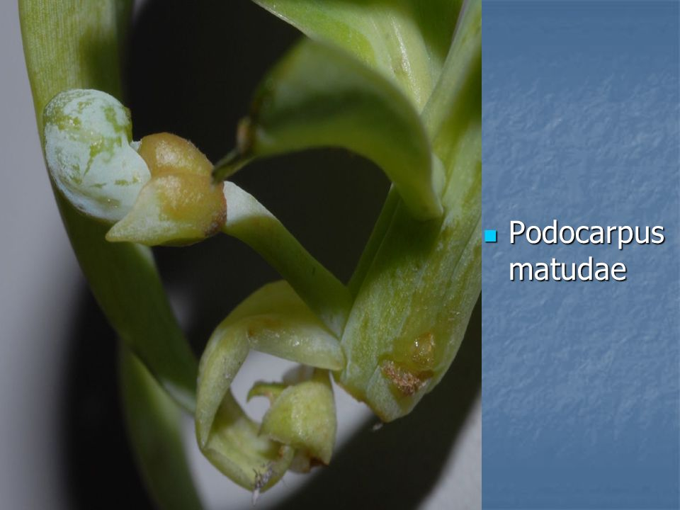 Podocarpus matudae Podocarpus matudae