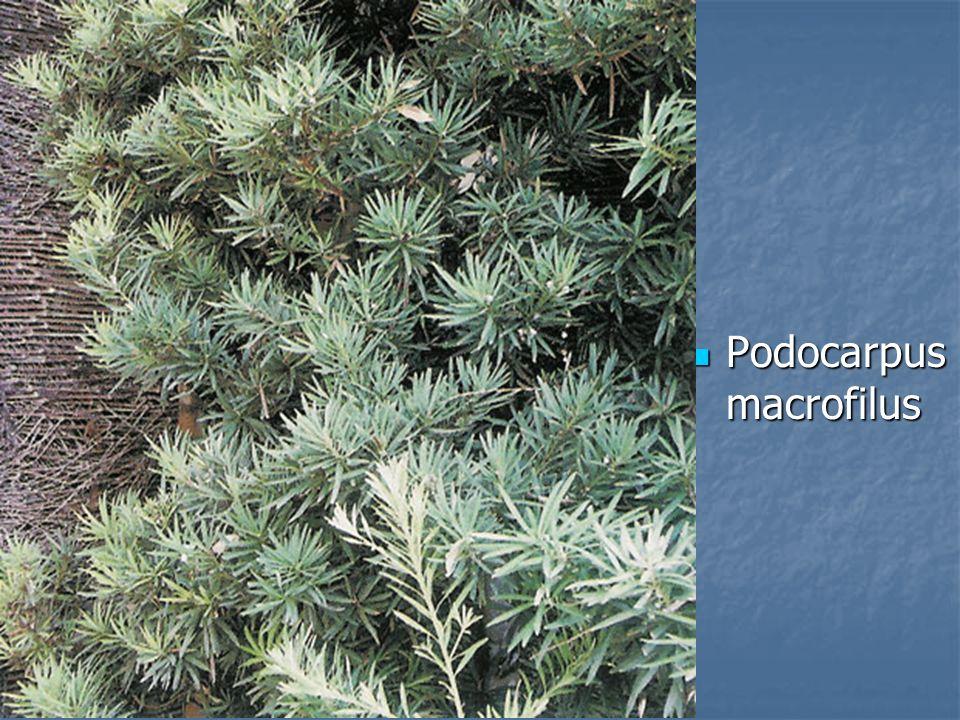 Podocarpus macrofilus Podocarpus macrofilus