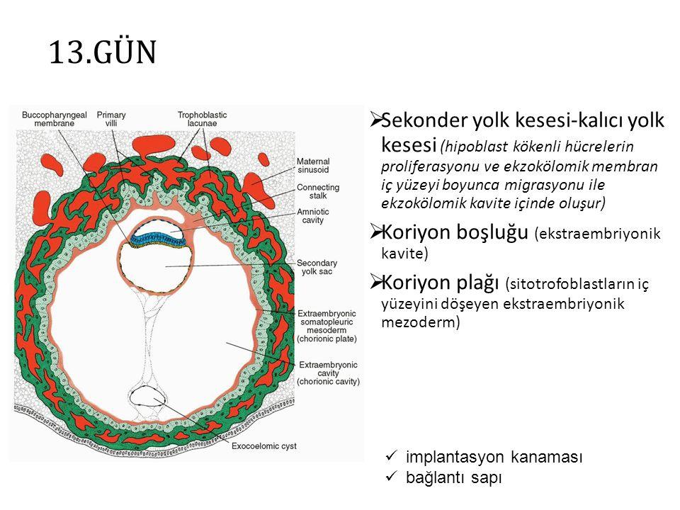 13.GÜN  Sekonder yolk kesesi-kalıcı yolk kesesi (hipoblast kökenli hücrelerin proliferasyonu ve ekzokölomik membran iç yüzeyi boyunca migrasyonu ile