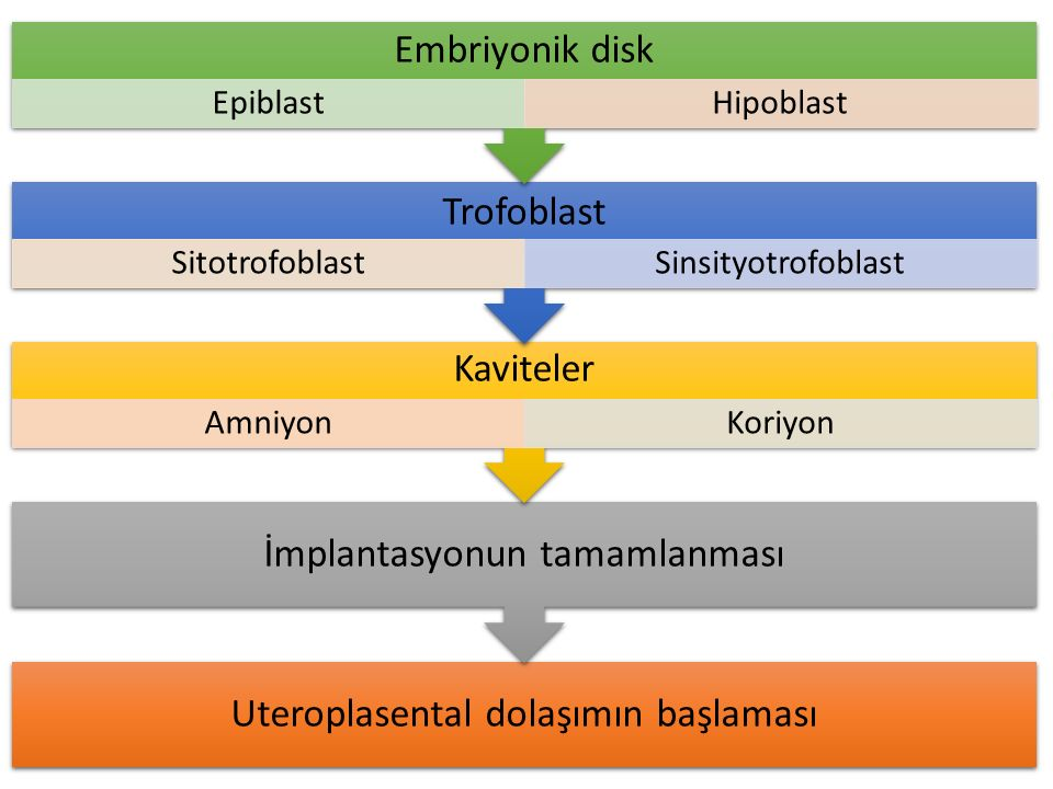 Uteroplasental dolaşımın başlaması İmplantasyonun tamamlanması Kaviteler AmniyonKoriyon Trofoblast SitotrofoblastSinsityotrofoblast Embriyonik disk Ep