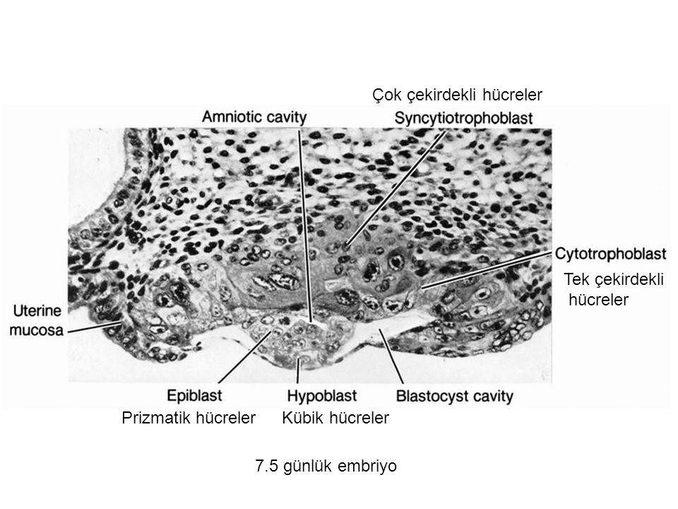 7.5 günlük embriyo Çok çekirdekli hücreler Tek çekirdekli hücreler Prizmatik hücrelerKübik hücreler