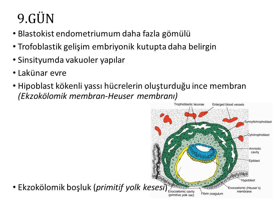 11-12.GÜN Blastokist tamamen gömülmüş Lakünalar maternal sinuzoidlerle birleşir Uteroplasental dolaşım başlar