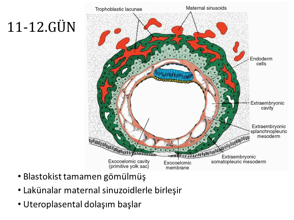 11-12.GÜN  Yolk kesesi hücrelerinden gelişen ekstraembriyonik mezoderm  Ekstraembriyonik kavite (koriyon boşluğu) Embriyonik disk 0.1-0.2 mm Desidual reaksiyon (endometrium hüc.