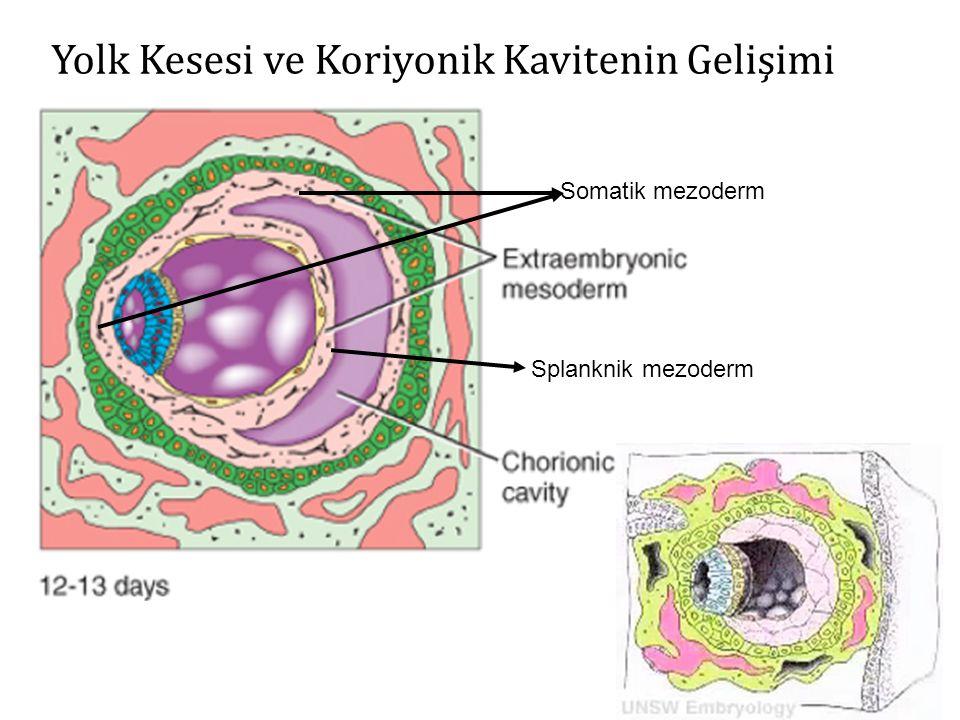 13.GÜN  Sekonder yolk kesesi-kalıcı yolk kesesi (hipoblast kökenli hücrelerin proliferasyonu ve ekzokölomik membran iç yüzeyi boyunca migrasyonu ile ekzokölomik kavite içinde oluşur)  Koriyon boşluğu (ekstraembriyonik kavite)  Koriyon plağı (sitotrofoblastların iç yüzeyini döşeyen ekstraembriyonik mezoderm) implantasyon kanaması bağlantı sapı