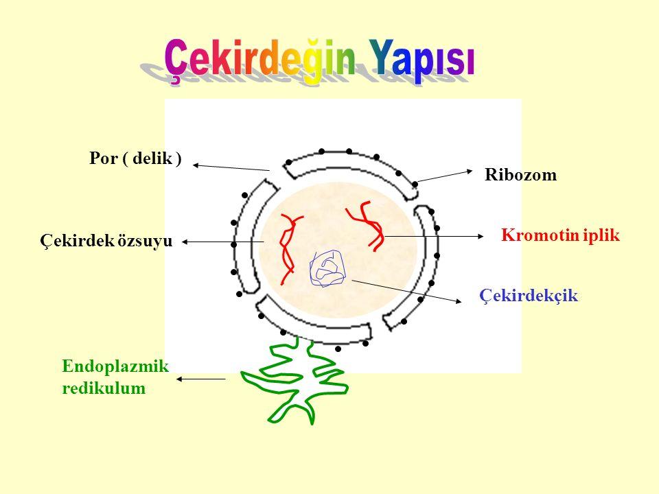 Ribozom Kromotin iplik Çekirdek özsuyu Por ( delik ) Çekirdekçik Endoplazmik redikulum
