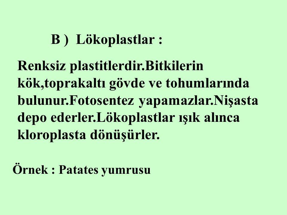 B ) Lökoplastlar : Örnek : Patates yumrusu Renksiz plastitlerdir.Bitkilerin kök,toprakaltı gövde ve tohumlarında bulunur.Fotosentez yapamazlar.Nişasta depo ederler.Lökoplastlar ışık alınca kloroplasta dönüşürler.