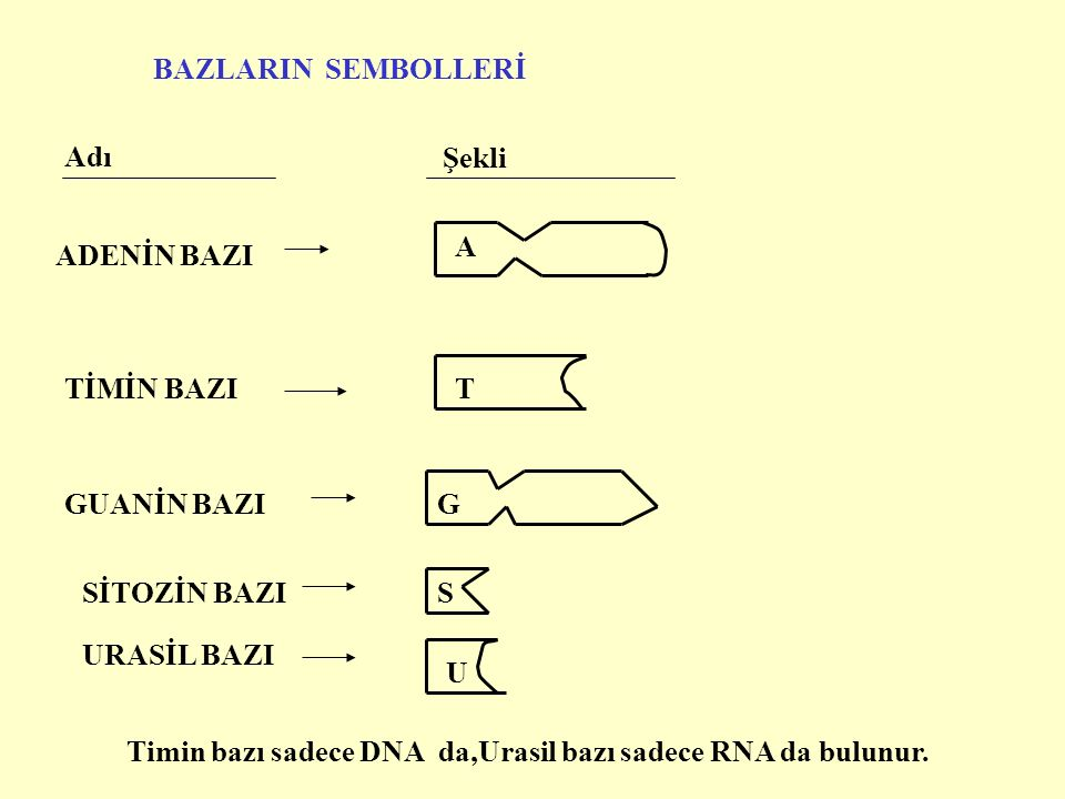 BAZLARIN SEMBOLLERİ Adı Şekli ADENİN BAZI A TİMİN BAZIT GUANİN BAZI SİTOZİN BAZIS URASİL BAZI U G Timin bazı sadece DNA da,Urasil bazı sadece RNA da bulunur.