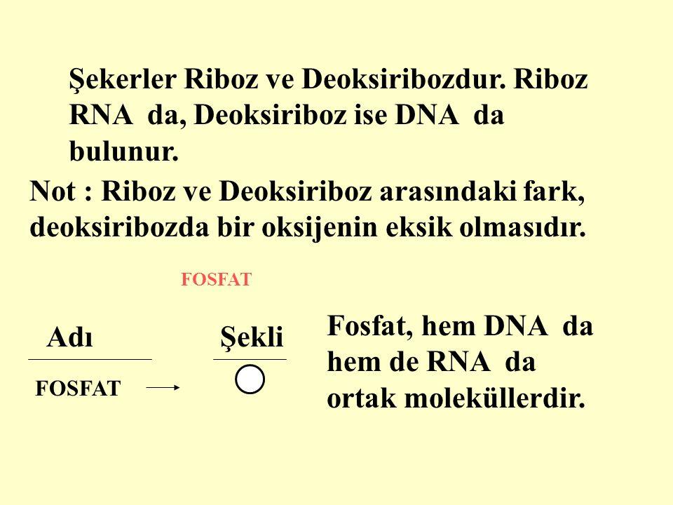 AdıŞekli Şekerler Riboz ve Deoksiribozdur. Riboz RNA da, Deoksiriboz ise DNA da bulunur.