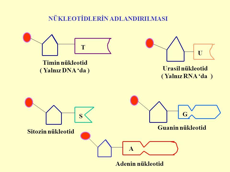 NÜKLEOTİDLERİN ADLANDIRILMASI T Timin nükleotid ( Yalnız DNA 'da ) U Urasil nükleotid ( Yalnız RNA 'da ) S Sitozin nükleotid G Guanin nükleotid A Adenin nükleotid