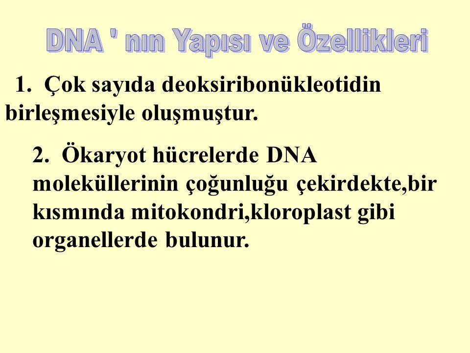 1. Çok sayıda deoksiribonükleotidin birleşmesiyle oluşmuştur.