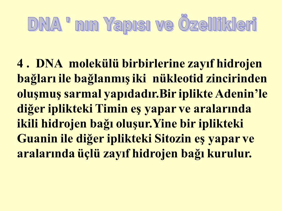 4. DNA molekülü birbirlerine zayıf hidrojen bağları ile bağlanmış iki nükleotid zincirinden oluşmuş sarmal yapıdadır.Bir iplikte Adenin'le diğer iplik