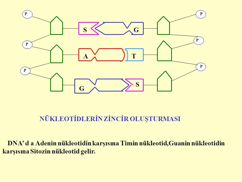 DNA' d a Adenin nükleotidin karşısına Timin nükleotid,Guanin nükleotidin karşısına Sitozin nükleotid gelir.