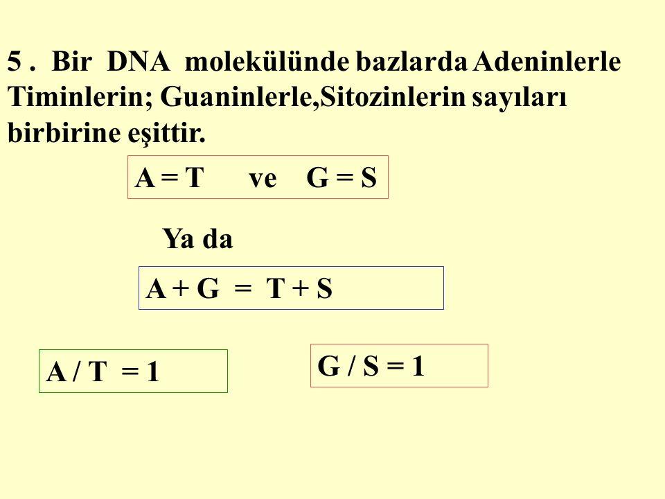 5. Bir DNA molekülünde bazlarda Adeninlerle Timinlerin; Guaninlerle,Sitozinlerin sayıları birbirine eşittir. A = T ve G = S Ya da A + G = T + S A / T