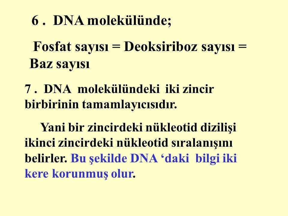 6. DNA molekülünde; Fosfat sayısı = Deoksiriboz sayısı = Baz sayısı 7.