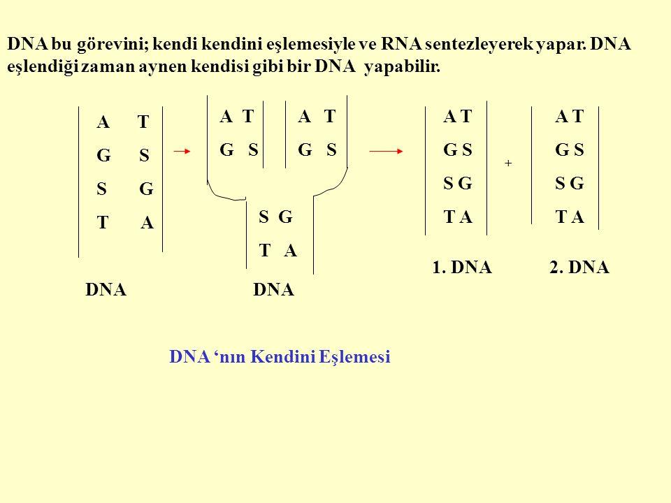 DNA bu görevini; kendi kendini eşlemesiyle ve RNA sentezleyerek yapar.