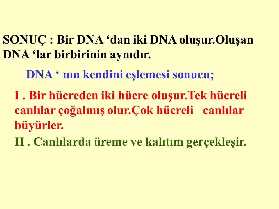 SONUÇ : Bir DNA 'dan iki DNA oluşur.Oluşan DNA 'lar birbirinin aynıdır.