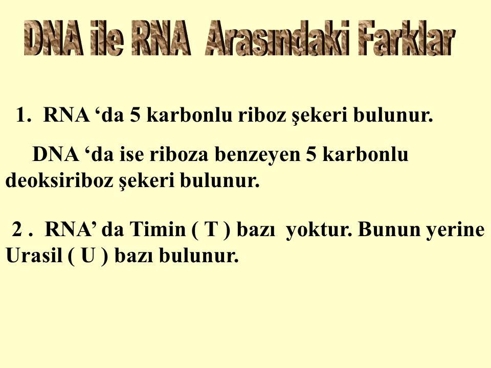 1. RNA 'da 5 karbonlu riboz şekeri bulunur.