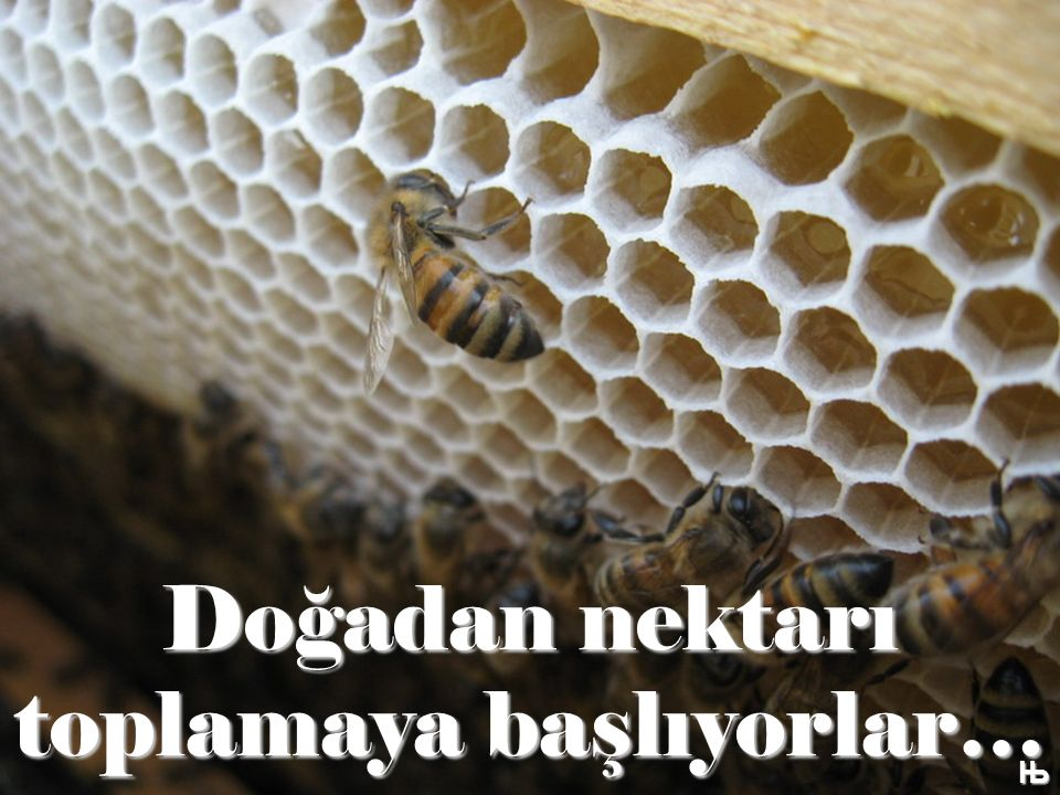 Doğadan nektarı toplamaya başlıyorlar… Њ