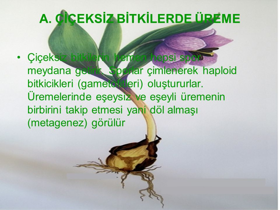 A. ÇİÇEKSİZ BİTKİLERDE ÜREME Çiçeksiz bitkilerin hemen hepsi spor meydana getirir. Sporlar çimlenerek haploid bitkicikleri (gametofitleri) oluştururla