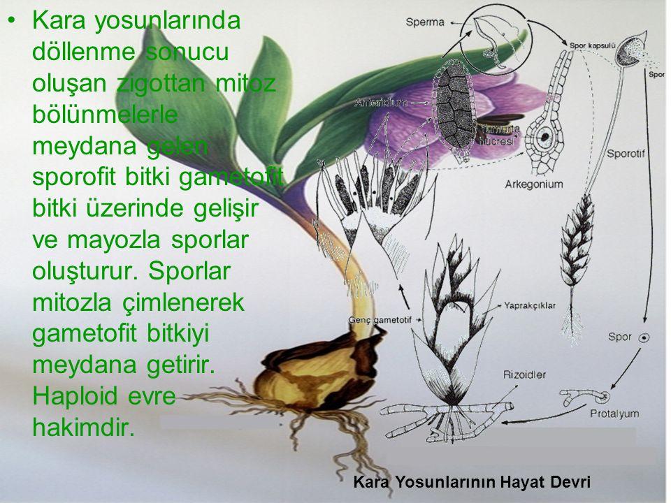 Kara yosunlarında döllenme sonucu oluşan zigottan mitoz bölünmelerle meydana gelen sporofit bitki gametofit bitki üzerinde gelişir ve mayozla sporlar