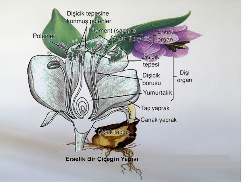 Erselik Bir Çiçeğin Yapısı