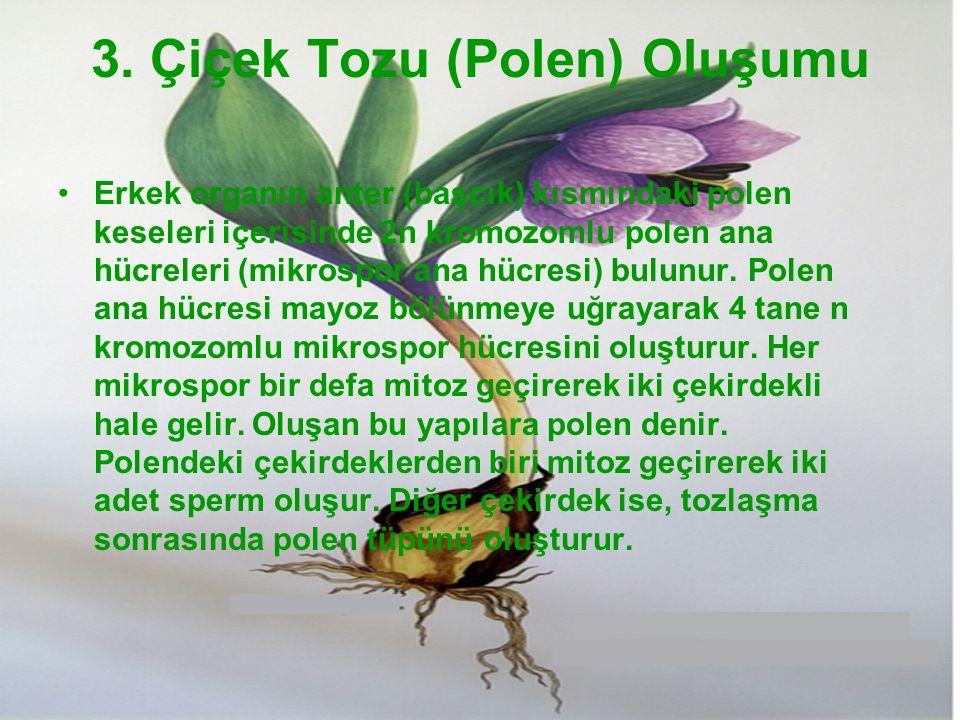 3. Çiçek Tozu (Polen) Oluşumu Erkek organın anter (başcık) kısmındaki polen keseleri içerisinde 2n kromozomlu polen ana hücreleri (mikrospor ana hücre