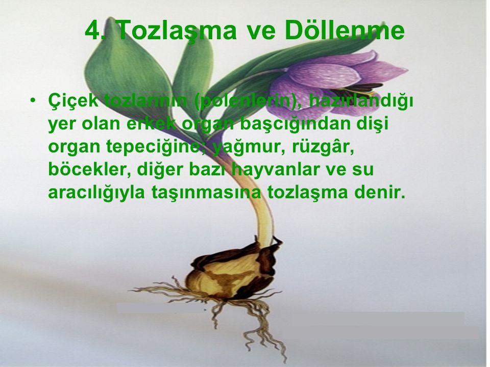 4. Tozlaşma ve Döllenme Çiçek tozlarının (polenlerin), hazırlandığı yer olan erkek organ başcığından dişi organ tepeciğine; yağmur, rüzgâr, böcekler,