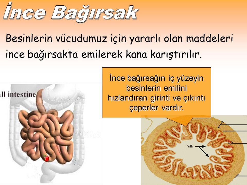 Besinlerin vücudumuz için yararlı olan maddeleri ince bağırsakta emilerek kana karıştırılır.