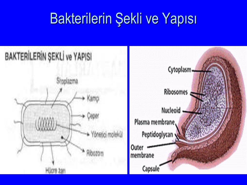 Bakterilerin Şekli ve Yapısı