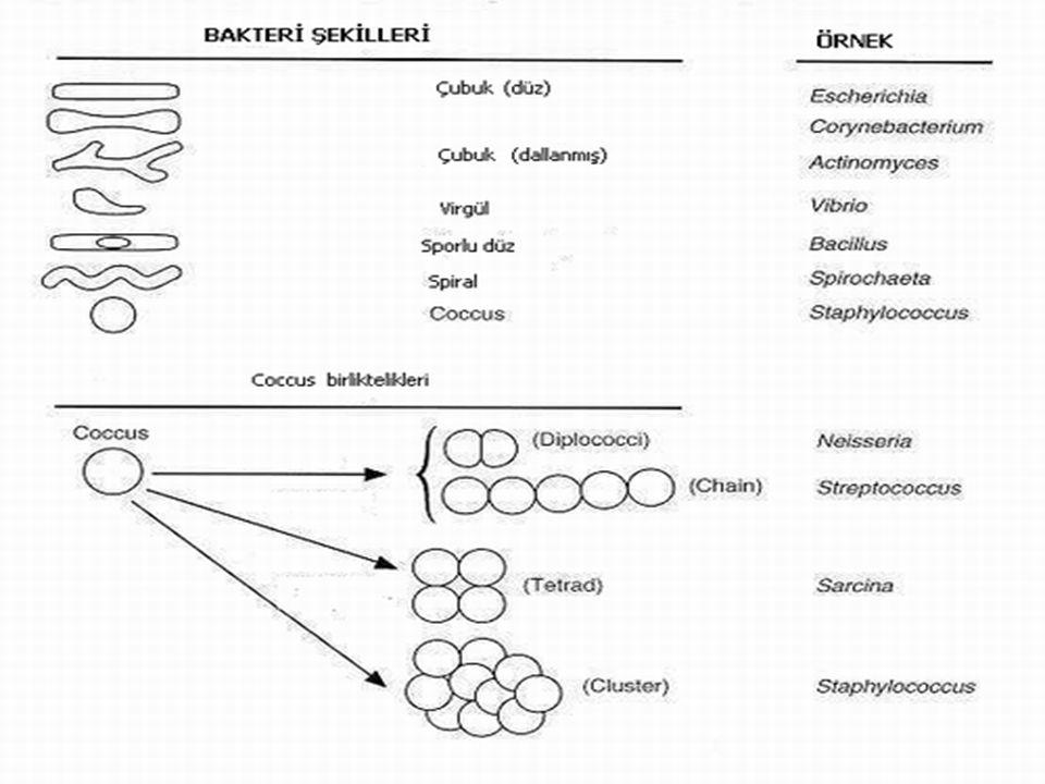 BESLENME ŞEKİLLERİNE GÖRE BAKTERİLER 1.Üretici olanlar (Ototrof): Klorofilli olup fotosentez yapan bakterilerdir.