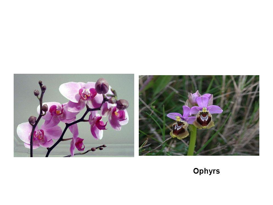 Ophyrs