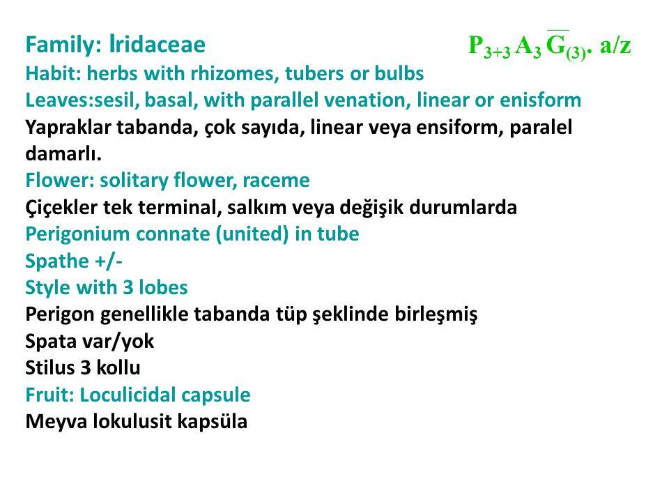 Family: I ridaceae Habit: herbs with rhizomes, tubers or bulbs Leaves:sesil, basal, with parallel venation, linear or enisform Yapraklar tabanda, çok sayıda, linear veya ensiform, paralel damarlı.
