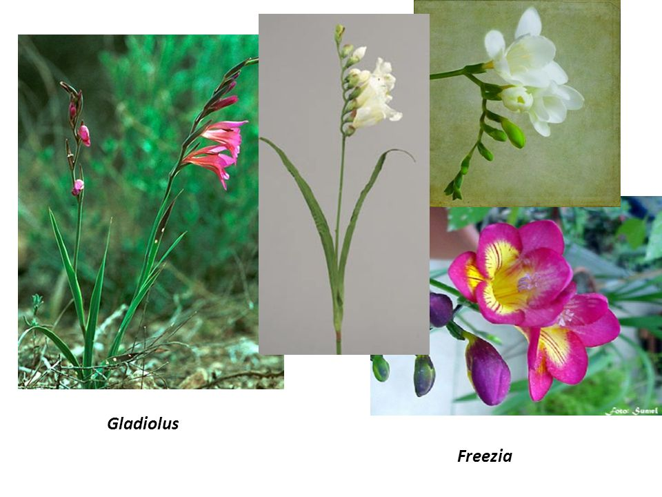 Gladiolus Freezia