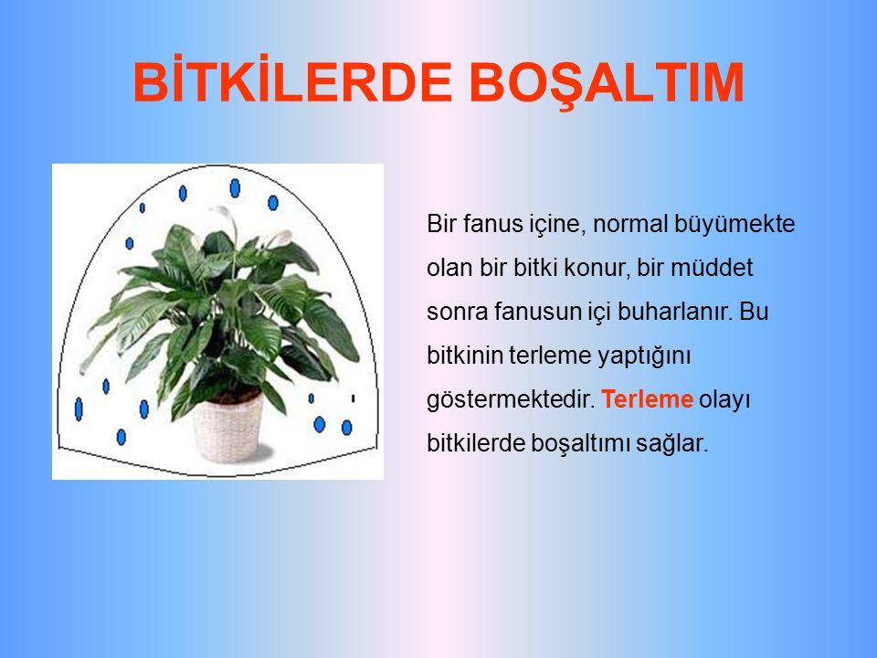 BİTKİLERDE BOŞALTIM Bir fanus içine, normal büyümekte olan bir bitki konur, bir müddet sonra fanusun içi buharlanır. Bu bitkinin terleme yaptığını gös